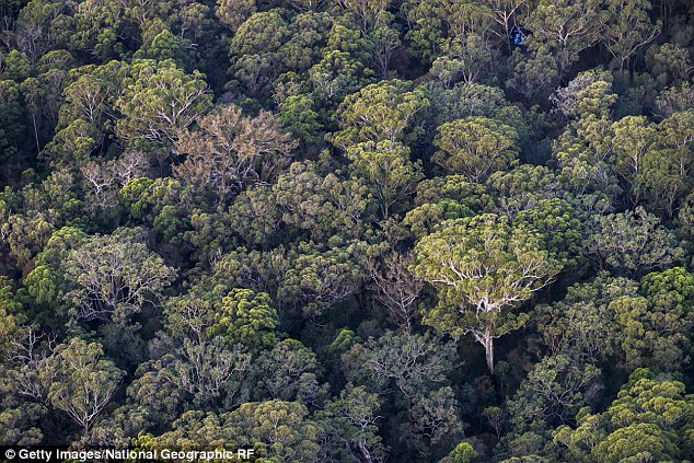 There are more than 7.5 hectares of Eucalyptus forest being burned every month by pizzerias and steakhouses. A total of over 307,000 tonnes of wood is burned each year in pizzerias. Eucalyptus forest pictured